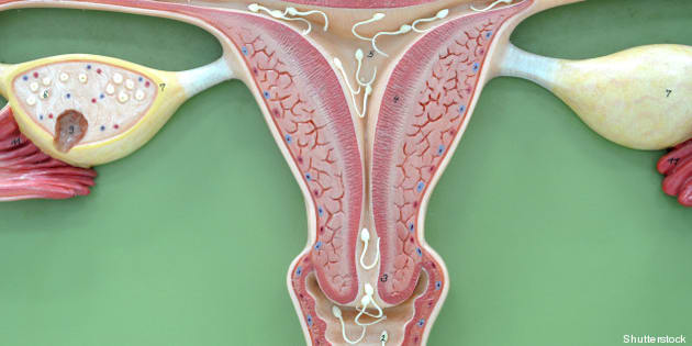 uterus of human