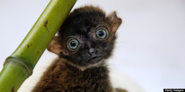 'Dimbi', a blue-eyed black lemur cub (Eulemur flavifrons) is pictured at the zoo of Mulhouse, northeastern France, on April 19, 2013. There's currently less than 2,000 blue-eyed black lemurs into the wild. AFP PHOTO / SEBASTIEN BOZON        (Photo credit should read SEBASTIEN BOZON/AFP/Getty Images)