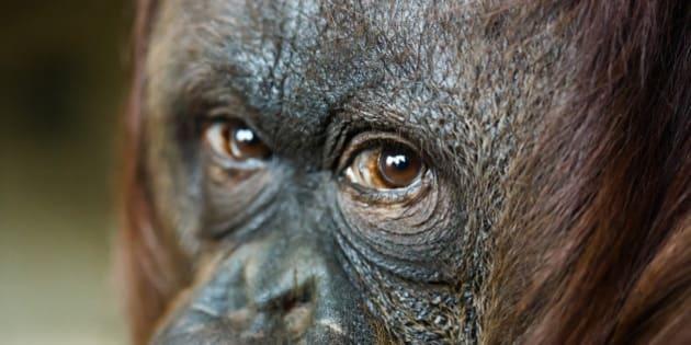 close up headshot of female orangutan. Focus on the eyes