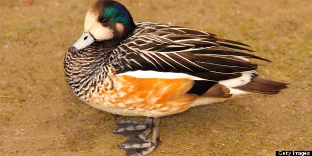 The Falcated Duck or Falcated Teal (Anas falcata) is a Gadwall-sized dabbling duck, breeds in eastern Asia.
