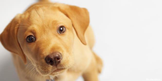 adorable labrador puppy looking ...
