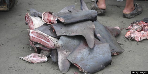ECUADOR - OCTOBER 18:  Shark fins to be sold for the shark fin soup industry. Ecuador.  (Photo by Jim Abernethy/National Geographic/Getty Images)