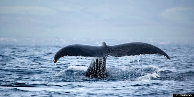 humpback whale tail in maui...