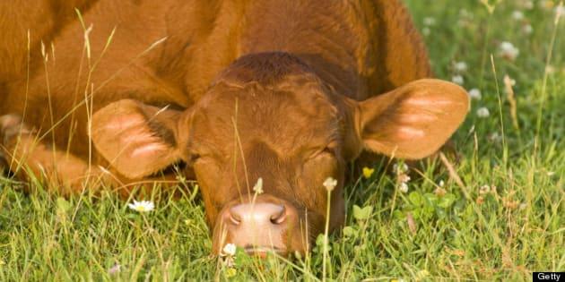 Beef Cattle Calf, Ontario, Canada