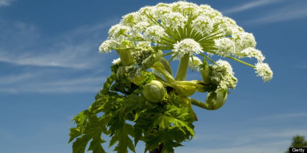 Giant Hogweed (Heracleum mantegazzianum) Usk Valley, Clytha Estate, Monmouthshire, South Wales.