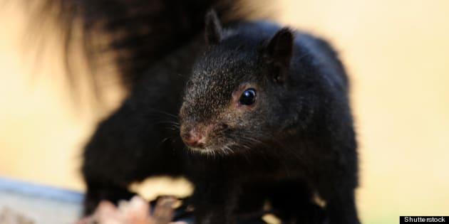closeup of a black squirrel