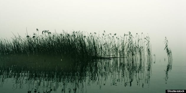 reed stalks in the swamp