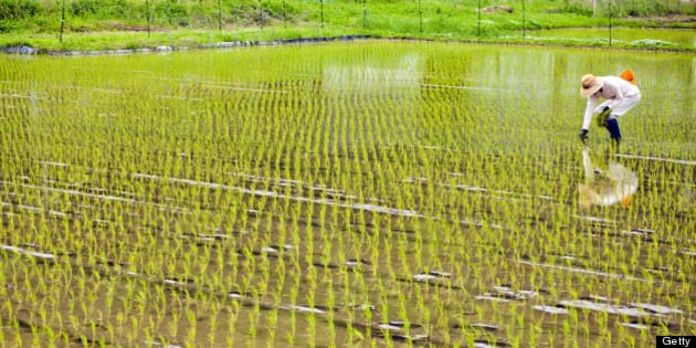 A man working and planting inside of a rice field in Japan.