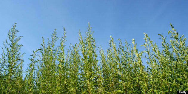 Common ragweed plants (Ambrosia artemisiifolia) against blue sky. The pollen from ragweed is highly allergenic and the primary cause of seasonal hayfever.