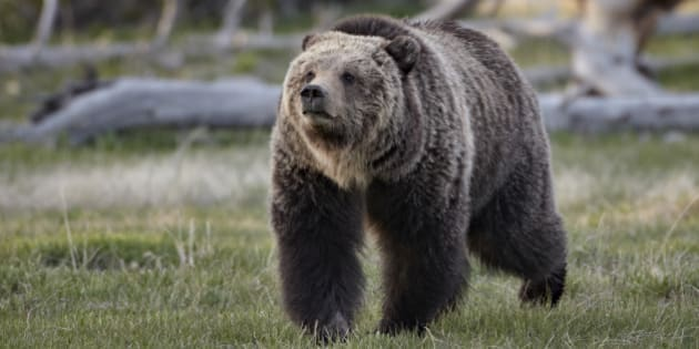 Grizzly bear (Ursus arctos horribilis) walking, Yellowstone National Park, Wyoming, United States of America, North America