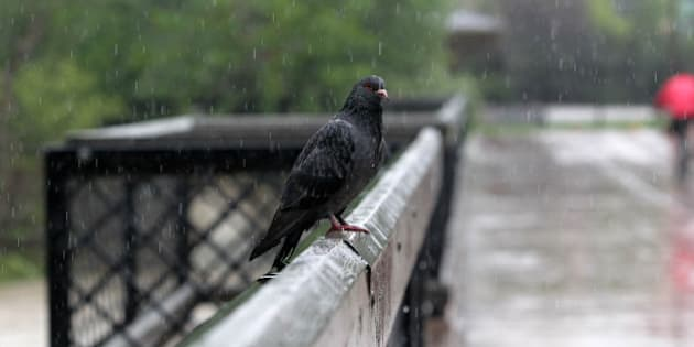 A tired and waterlogged pigeon rests on a downtown bridge as waters continue to rise in Calgary, Alberta, Canada,  June 21, 2013.   Flooding forced the evacuation of some 100,000 people in the western city of Calgary and nearby towns in the heart of the Canadian oil patch.   AFP PHOTO / DAVE BUSTON        (Photo credit should read DAVE BUSTON/AFP/Getty Images)