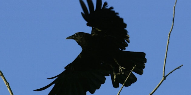 LOS ANGELES - JULY 10:  An American crow lands on a tree in an area where dead and dying crows have become an increasingly common site near the San Gabriel River on July 10, 2004 near the Los Angeles, California area community of Pico Rivera. Health officials are predicting a severe season of West Nile Virus as the disease comes to California. The virus is spread to humans by infected mosquitoes which pick up the disease by biting infected birds. Most mosquito species do not carry the virus but many area birds have died from the disease. Animals such as horses are getting the disease but are not passing it to mosquitoes. Birds in the crow family are especially vulnerable to the virus and anecdotal reports suggest that crow populations have already diminished some areas where hundreds of dead crows have tested positive to West Nile Virus.        (Photo by David McNew/Getty Images)