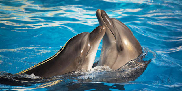 pair of dolphins dancing in...
