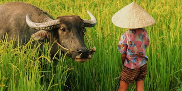 Vietnam, child in rice field with water buffalo