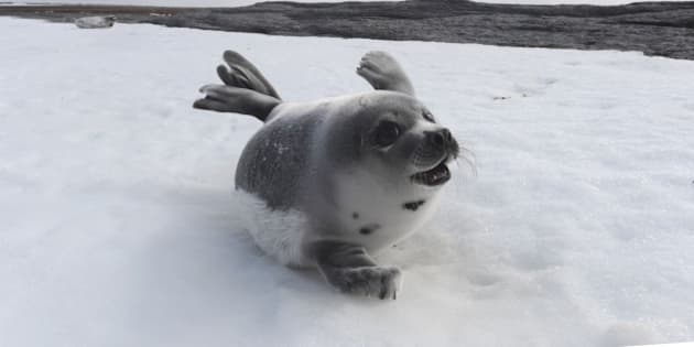 PRINCE EDWARD ISLAND, CANADA - MARCH 23: A young Harp Seal on a beach on March 23, 2010 on Prince Edward Island in the Northern Gulf of St Lawrence, Canada. This year has been the worst ice year on record in the Gulf of St. Lawrence, Canada, meaning that a record number of seal pups are expected to die. Each year hunters travel to the region to hunt the seals for their fur. The IFAW (The International Fund for Animal Welfare) have been documenting the ice conditions in Prince Edward Island and Newfoundland and discovered that few pups remain. Harp seals need ice for giving birth, nursing and resting, and seal mortality is expected to be very high this year as a result of the poor ice conditions. (Photo by Barcroft Media / Getty Images)