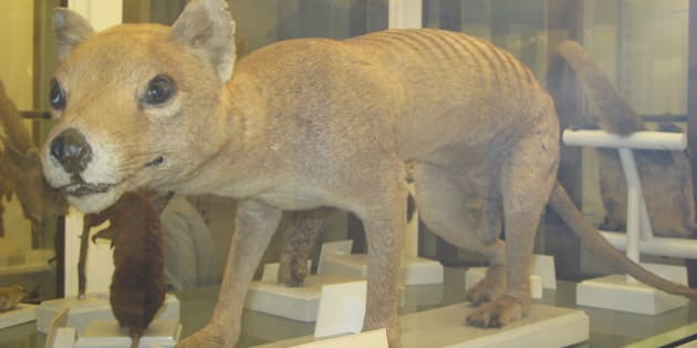 Stuffed Tasmanian tiger from the Zoological Musuem in Firenze. Exticnt since 1934.
