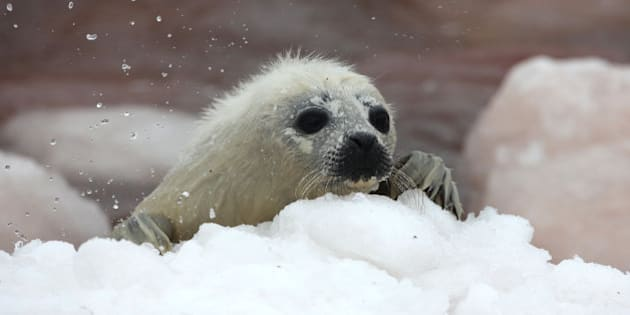 PRINCE EDWARD ISLAND, CANADA - MARCH 23: A baby whitecoat harp seal washed up on the shore on March 23, 2010 on Prince Edward Island in the Northern Gulf of St Lawrence, Canada. This year has been the worst ice year on record in the Gulf of St. Lawrence, Canada, meaning that a record number of seal pups are expected to die. Each year hunters travel to the region to hunt the seals for their fur. The IFAW (The International Fund for Animal Welfare) have been documenting the ice conditions in Prince Edward Island and Newfoundland and discovered that few pups remain. Harp seals need ice for giving birth, nursing and resting, and seal mortality is expected to be very high this year as a result of the poor ice conditions. (Photo by Barcroft Media / Getty Images)