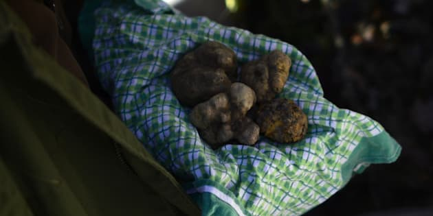 Ezio, 67, truffle's hunter for 50 years, shows truffles found by his dog, Jolli, on November 25, 2013 in Monchiero's woods, near Turin. AFP PHOTO / OLIVIER MORIN        (Photo credit should read OLIVIER MORIN/AFP/Getty Images)