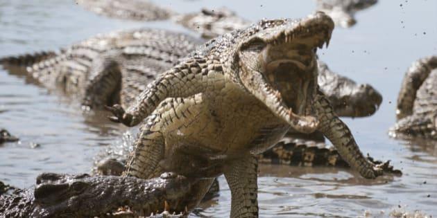attack crocodile. cuban...
