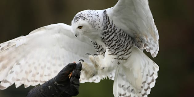 close up of a snowy owl in...