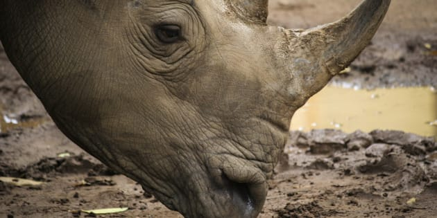 african white rhino in park