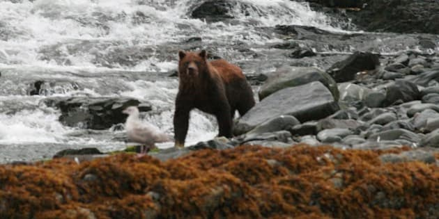 "Grizzly Bear (Ursus arctos horribilis) fishing along Inland Passage between Skagway and Juneau, Alaska, USA. Photographed from the deck of the ""Juneau Explorer"" on 27 August 2009."