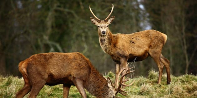 red deer stags in autumn ...