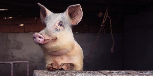 Cochon Image la chine invente le clonage de cochon en masse   le huffington post