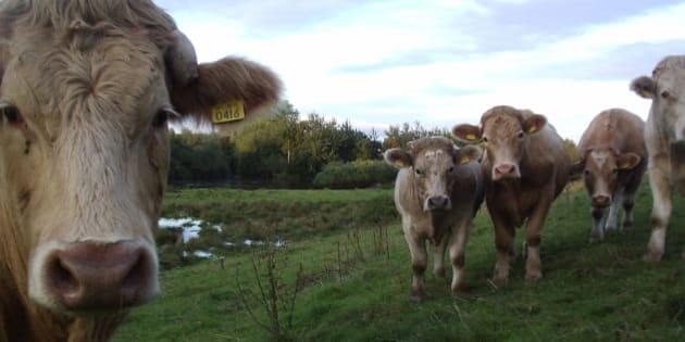 Curious feckers, cows