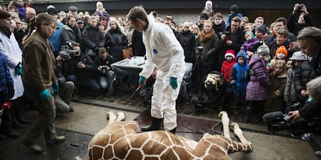 A perfectly healthy young giraffe named Marius was shot dead at Copenhagen zoo on Febuary 9, 2014 despite an online petition to save it signed by thousands of animal lovers. Marius, an 18-month-old giraffe, was put down with a bolt gun early on Sunday, zoo spokesman Tobias Stenbaek Bro confirmed.  AFP PHOTO / SCANPIX DENMARK /  KASPER PALSNOV   +++ DENMARK OUT +++        (Photo credit should read KASPER PALSNOV/AFP/Getty Images)