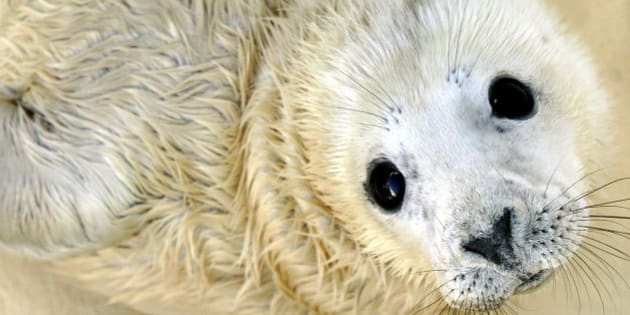 Nahia, a five-day-old grey baby seal, is seen at the Biarritz Sea Museum, southwestern France, Wednesday, Dec. 21, 2005, where it was born Friday Dec. 16. Nahia is 80 centimeters (31-1/2 inches) long and weighs 15 kilograms (33-lbs)  and is the first grey seal born in captivity in France, the museum's director Francoise Pautrizel said. The gender of the baby seal was still unknown Wednesday. (AP Photo/Bob Edme)