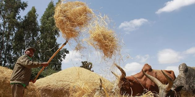 Photo taken on February 21, 2014 shows a  farmer winnowing a dried teff crop to separate seeds from stalks at Ada village in Bishoftu town, Oromia region of Ethiopia. AFP PHOTO/Solan GEMECHU        (Photo credit should read SOLAN GEMECHU/AFP/Getty Images)