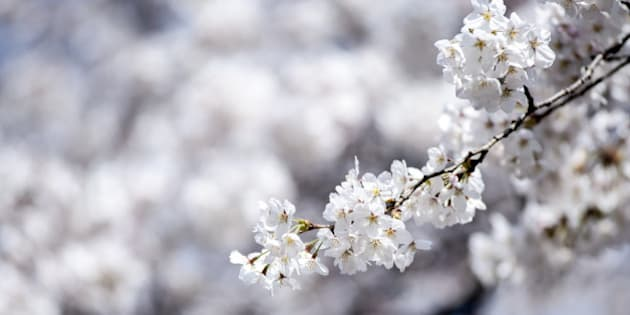 TOKYO, JAPAN - MARCH 29: A close-up of some cherry blossom on March 29, 2014 in Tokyo, Japan. This is the first weekend after Japan's Meteorological Agency announced this year's Tokyo's cherry blossom season started. (Photo by Keith Tsuji/Getty Images)