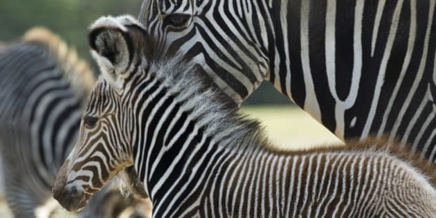 Five-day-old Imperial zebra (aka Grevy zebra) 'Heinrich' stays close to his mother Kianga (back) at his enclosure at Berlin's Tierpark zoo November 12, 2013. The Grevy's zebra is considered endangered. Its population was estimated to be 15,000 in the 1970s and by the early 21st century the population was lower than 3,500, a 75% decline. AFP PHOTO / JOHN MACDOUGALL        (Photo credit should read JOHN MACDOUGALL/AFP/Getty Images)