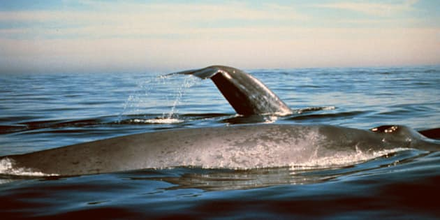 This undated photo provided by the National Oceanic and Atmospheric Administration shows blue whales in the Gulf of the Farallones National Marine Sanctuary in California. Scientists say the whales that use to cruise the Pacific Ocean from California to Alaska until commercial whalers nearly wiped out, could be re-establishing an old migration route from California to Alaska. (AP Photo/ National Oceanic and Atmospheric Administration)
