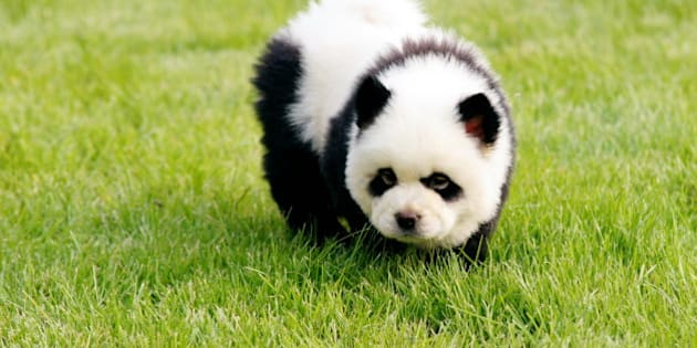 ZHENGZHOU, CHINA - JUNE 05:  (CHINA AND GERMANY OUT) A dog is painted as a baby giant panda during the launch of a new pet park at Dahe Mincui Park on June 5, 2010 in Zhengzhou, Henan Province of China. The newly opened Pet Park adorned the canines to attract investors and commercial tenants including pet grooming services, pet hospitals and pet trading markets to the new venue. The 5 painted dogs were invited from China's southwest Sichuan province to boost the opening of the park.  (Photo by ChinaFotoPress/Getty Images)