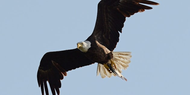 PEMBROKE PINES, FL - APRIL 28: American Bald Eagle is sighted on April 28, 2014 in Pembroke Pines, Florida. (Photo by Larry Marano/GC Images)