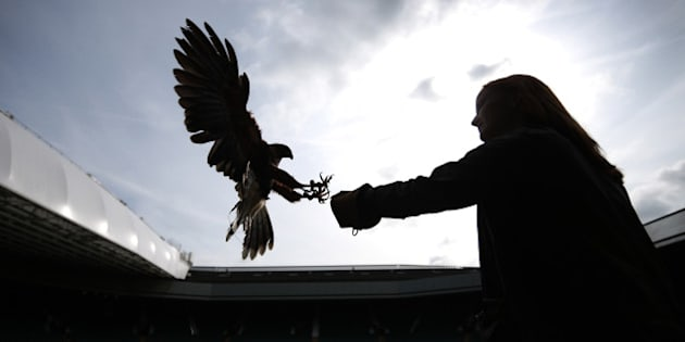 LONDON, ENGLAND - JULY 01:  Imogen Davies catches Rufus, a Harris hawk, in the stands above Centre Court at the Wimbledon Lawn Tennis Championships on July 1, 2013 in London, England. Rufus is used to scare away pigeons which can distract the players. The 2013 Championships are entering their second week at the end of which  Centre Court will become the centre of the world's attention for the women's singles and men's singles finals.  (Photo by Peter Macdiarmid/Getty Images)