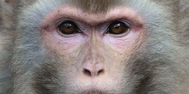 Macaque Rhesus (macaca mulatta) Indes, Népal