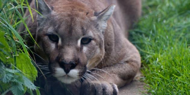 A cougar staring at me at Shepreth Wildlife Park