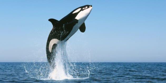 Image D Orque vidÉos. dauphins: les orques sont capables d'apprendre le langage de