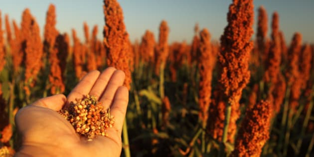sorghum the new must have gluten free ancient grain huffpost canada