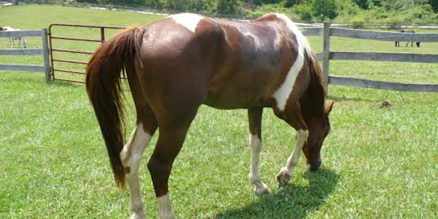 A friend's paint horse, Lucky, enjoying some grass after a trail ride.