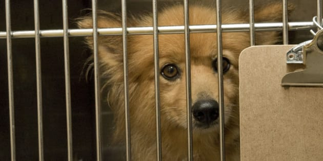 PORT WASHINGTON, NY - AUGUST 10:  A  puppy mill dog at North Shore Animal League America on August 10, 2010 in Port Washington, New York.  (Photo by Steven A Henry/Getty Images)