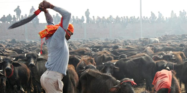 A Hindu devotee slaughters a buffalo as an offering to the Hindu goddess Gadhimai in Bariyapur village, Bara district, some 70 kilometres south of Kathmandu, on November 24, 2009. Up to a million Hindu devotees gathered November 24 in a village in Nepal to witness the slaughter of hundreds of thousands of animals in a mass sacrifice that has drawn widespread criticism. Worshippers travelled long distances, many coming from neighbouring India, to attend the two-day Gadhimai festival, which honours the Hindu goddess of power and takes place once every five years in southern Nepal. AFP PHOTO/Prakash MATHEMA (Photo credit should read PRAKASH MATHEMA/AFP/Getty Images)