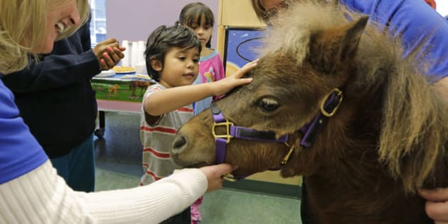 In this Nov. 13, 2014 photo, patients Nathaniel Lopez, left, and Araceli Morales pet Lunar one of two miniature horses from 'Mane in Heaven' that made a visit to the pediatric unit at Rush University Medical Center in Chicago. Mystery and Lunar, small as big dogs, are equines on a medical mission, to offer comfort care and distraction therapy for ailing patients. It is a role often taken on by dogs in health-care settings _ animal therapy, according to studies and anecdotal reports, may benefit health, perhaps even speeding healing and recovery.(AP Photo/M. Spencer Green)