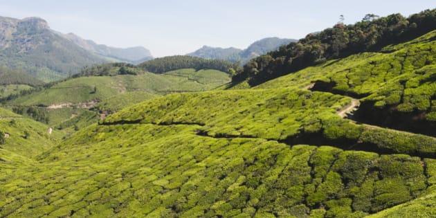 Tea plantation, Munnar, Idukki, Kerala, India. (Photo by: Exotica.im/UIG via Getty Images)
