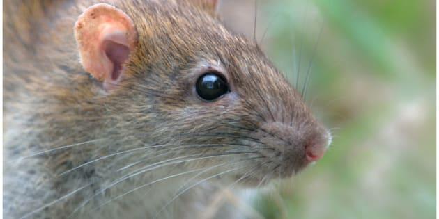 Rattus norvegicus (Belle-Île -en-mer, Morbihan - France)