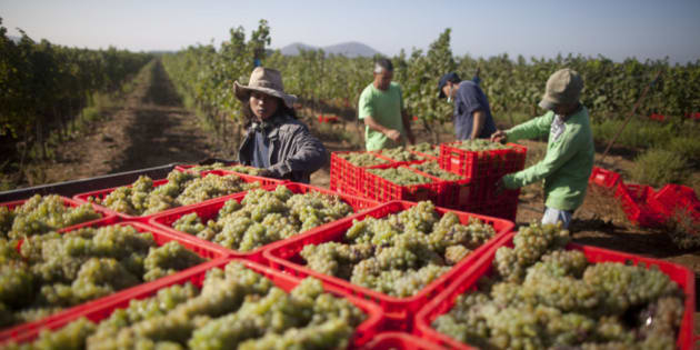 GOLAN HEIGHTS - SEPTEMBER 02:  (ISRAEL OUT) Israelis and Thai workers lift Crates of Viognier grapes at Ortal vineyard on September 2 2013 in the Israeli-annexed Golan Heights. Ortal's vineyard was planted in 1983 at he snow line, 900 meters above sea level in the heart of the Golan Heights wine-making area. The grapes grown in the vineyard include Cabernet Sauvignon, Merlot, Syrah, Viognier, Cabernet Frank, Petite Verdot, Cabernet Blane and Roussanne.  (Photo by Lior Mizrahi/Getty Images)