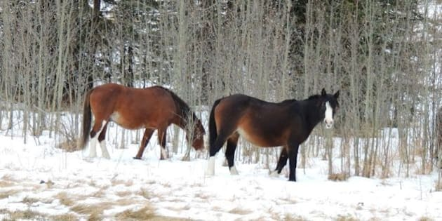 The wild horses of David Thompson Country, Alberta